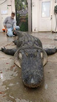David and Susan Birgerson of Sumter, SC killed this big Santee gator after a long fight.