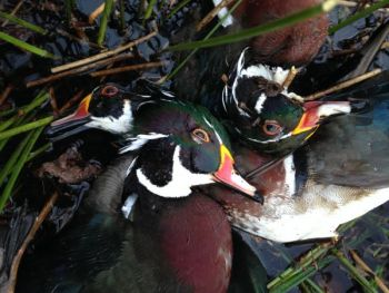 Hunters in North Carolina and South Carolina are allowed to take three wood ducks per day as part of their six-bird bag limit.