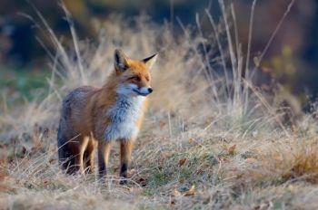 Learn about foxes, fishing, hunting, and more at these free workshops offered by PIsgah Wildlife Education Center throughout November.
