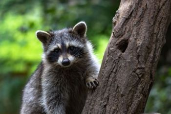 Regional youth coon hunts are being held throughout the winter in several locations in South Carolina.