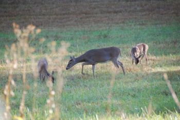 Don't wait until the waning weeks of the season to start taking does; it's better for the herd to tag them early on.