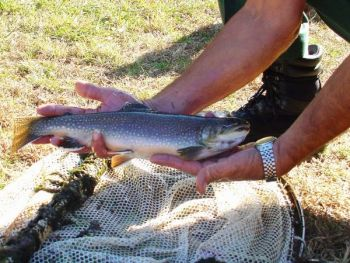 Greenland and Panthertown creeks and the headwaters of the Tuckasegee River hold a lot of awfully big wild brook trout.