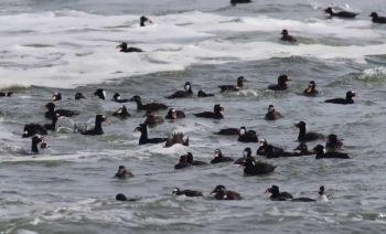 South Carolina has cut down on hunters' opportunities to take sea ducks like these scoters due to drops in the birds' numbers.