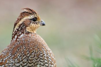 Quail hunting is a dying art, but getting kids involved can help keep it alive.