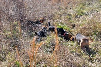 Packs of beagles have to work faster and cover more ground to flush rabbits living in cutovers and give hunters the chance for a shot.
