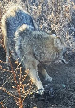 This tagged coyote earned Rockingham, NC's David Moore a free South Carolina lifetime hunting license.
