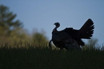 Don't miss early season turkey hunting opportunities in the Carolinas.