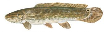 Bowfin, a/k/a mudfish, are sporty fighters and thrive in the Carolinas.