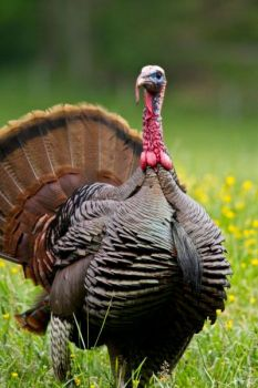 Turkey hunters in the Carolinas have toms on their minds in April.