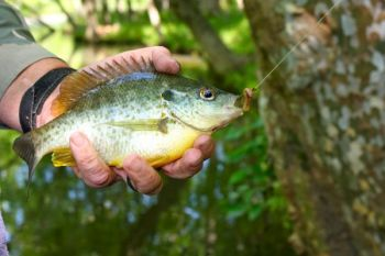 Shellcrackers will readily hit night crawlers or red worms fished on small hooks.