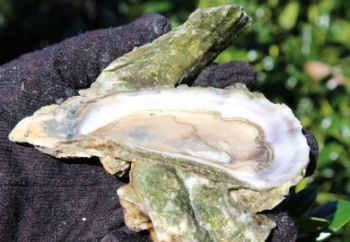 The heat of summer elevates bacterial levels in South Carolina waterways and, by extension, filter feeders such as oysters and clams.