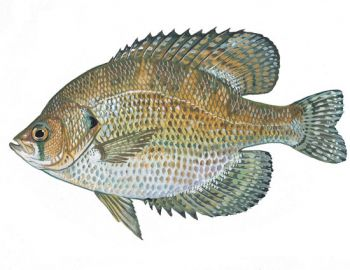 Fliers are small panfish that have a distinct look, and are sometimes misidentified as crappie.