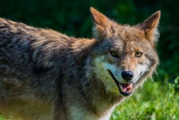 The coyote that attacked a Georgia hiker last month tested positive for rabies.