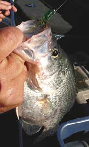 Rebound crappie for Lake tillery fishing