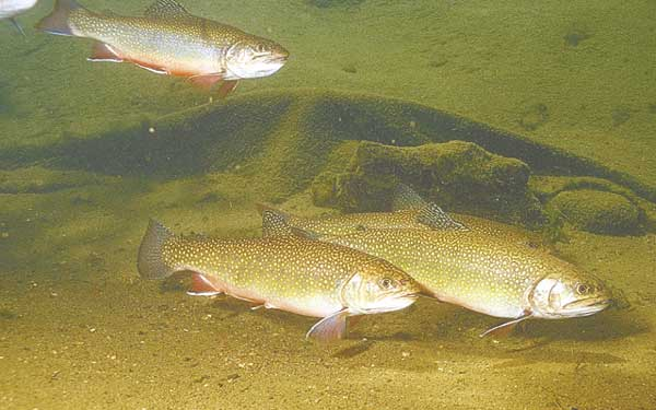 Summer time for largest trout for Nc trout fishing regulations