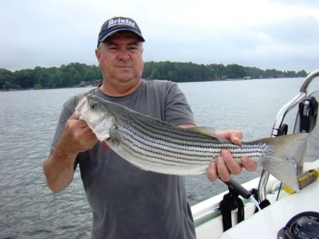 North carolina lake norman striper fishing heats up now for Striper fishing nc