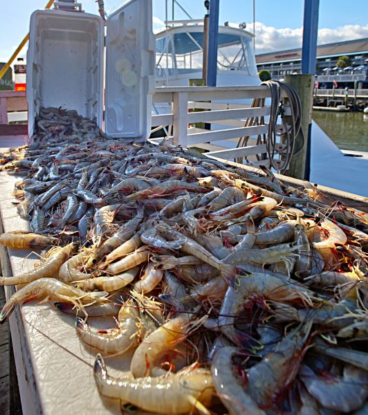 N c division of marine fisheries needs volunteers for for Nc saltwater fish