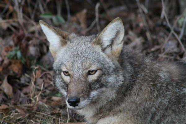 North Carolina Coyote