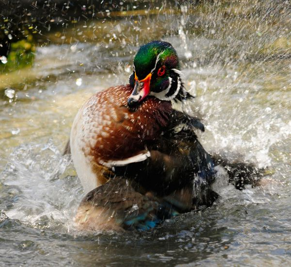 Small Waters Are Great For South Carolina Duck Hunters