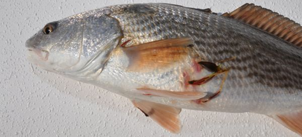 Anchor worms have become more prevalent in red drum for Anchor worm on fish