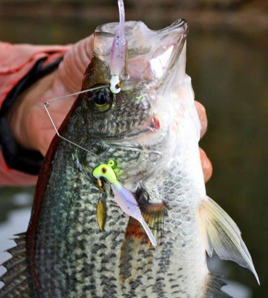 Alabama rig for crappie related keywords alabama rig for for Crappie fishing in alabama