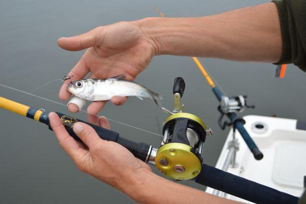 hook up live bait