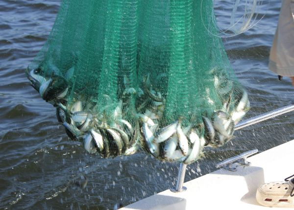 Cast netting for perch for North carolina saltwater fishing license