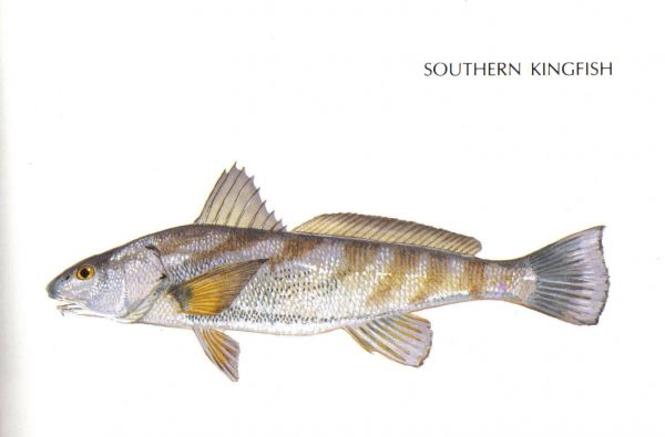Whatever you call them whiting are among north carolina s for North carolina surf fishing license