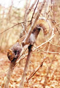 Squirrels follow almost the same daily routines as white-tailed deer, moving the most early and late in the day and concentrating near sources of food. Squirrels also are extremely shy of interactions with hunters and will flee to safety (a nest or tree hole) at a moment's notice.