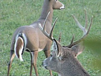 A buck checks out a doe decoy during a recent archery hunt in North Carolina.