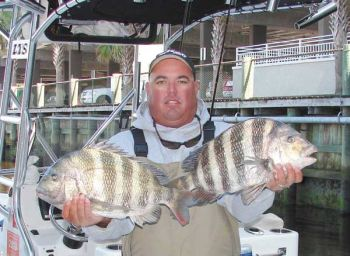 "Dickson said these sheepshead are typical of those caught out of Little River during the winter months: in the 4- to 6-pound class. Sheepshead, known for their ""light"" bites, are more aggressive in cool to cold water."