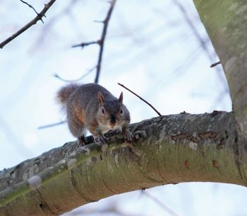 When looking for squirrels, scan the trunk and tree limbs at various heights, paying careful attention to any kind of motion and anything that looks out of place.