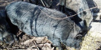 Feral hogs are spreading across North Carolina, and hunters are being encouraged to harvest every one they can.