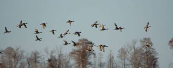 Waterfowl hunters need to be able to identify different species of ducks under poor light conditions to make sure they don't exceed the limit for certain ducks.