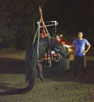 This 13-foot, 900-pound alligator fell victim to Benjamin Rader and three hunting buddies.