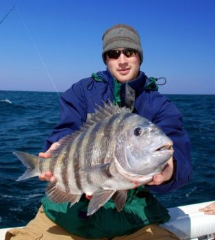 Sheepshead have responded to cooler weather by tying on the feed bag in Charleston area waters.