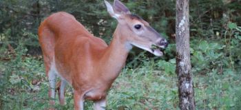 With preferred foods often depleted in winter, deer will turn to any kind of browse they can find and consume.