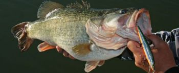 A long, slender jerkbait is one of the best lures around to catch winter bass.