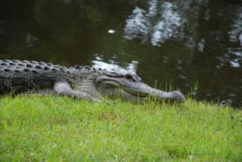 The deadline for applications for this fall's SCDNR alligator season is June 15.