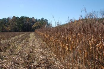 Bush-hogging crops in strips puts plenty of grain on the ground, gives hunters a place to hide, and leaves grain to cut for the later season.