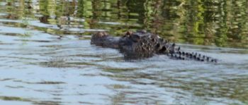 The  Bear Island and Santee Coastal WMAs have draw hunts for alligators that are part of the annual alligator-permit draw system.
