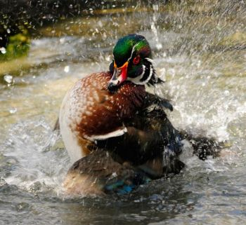 Woodies are South Carolina's No. 1 small-water ducks, available throughout the state in all kinds of bodies of water, big and small.