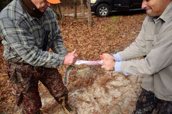 Removing the skin from a squirrel is best done soon after it is killed and by two people. Cut through the skin — but not the muscle — all the way around the animal, and have two people pull in different directions against each other.
