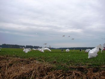 A handful of huge tundra swans dropping into a spread of decoys is a sight that many waterfowlers will never forget.