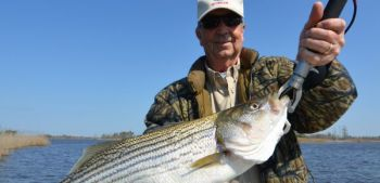 Fishermen can handle an awfully big striped bass on the same tackle they use to fish crankbaits for largemouth bass.