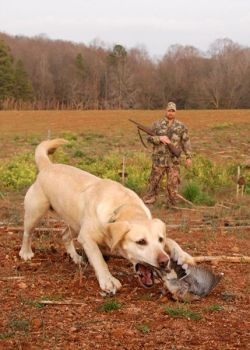 Since the leaves and most of the other foliage is gone in January, hunters have to make due with what's left and often move frequently during the hunt to keep the doves stirred up and flying.