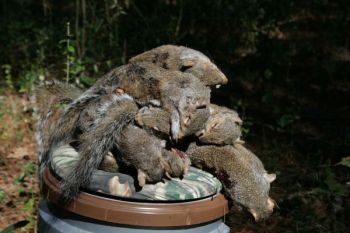 WMAs around South Carolina hold plenty of squirrels when the right habitat is present.