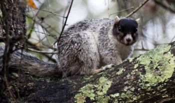 Fox squirrels, the largest of all tree squirrels, come in a variety of colorations in South Carolina.