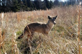 Coyotes are unwelcome visitors in North Carolina.