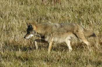 Coyotes are adaptable enough and are in enough places that wiping them out by trapping or hunting won't happen.